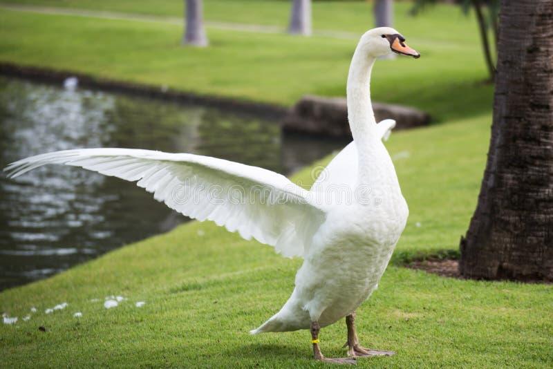 A cisne espalhou as asas fotografia de stock