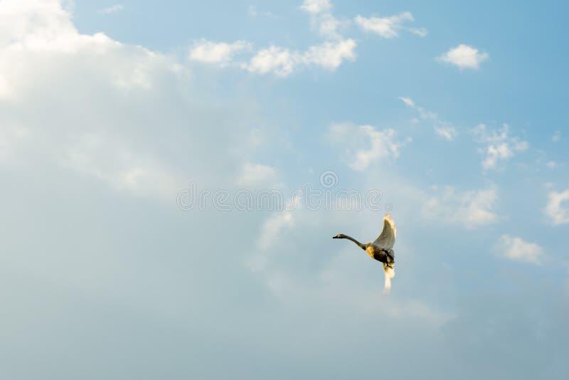 A cisne está voando no céu que espalha suas asas imagens de stock royalty free