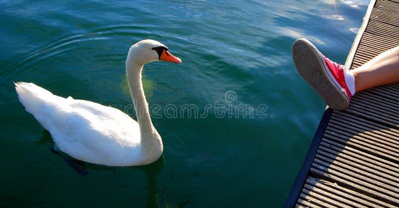 A cisne gosta de um animal de estimação imagens de stock