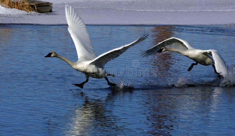 Cisne irritable fotografía de archivo