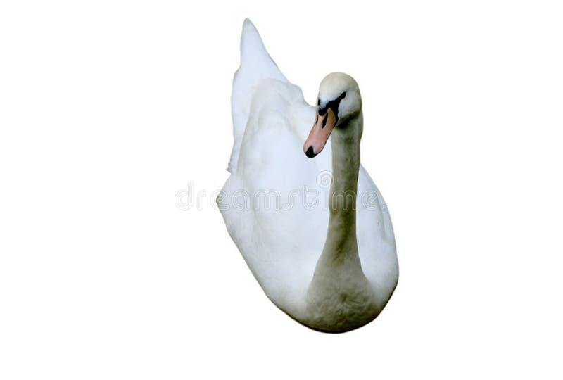 Cisne isolada em um fundo branco fotografia de stock