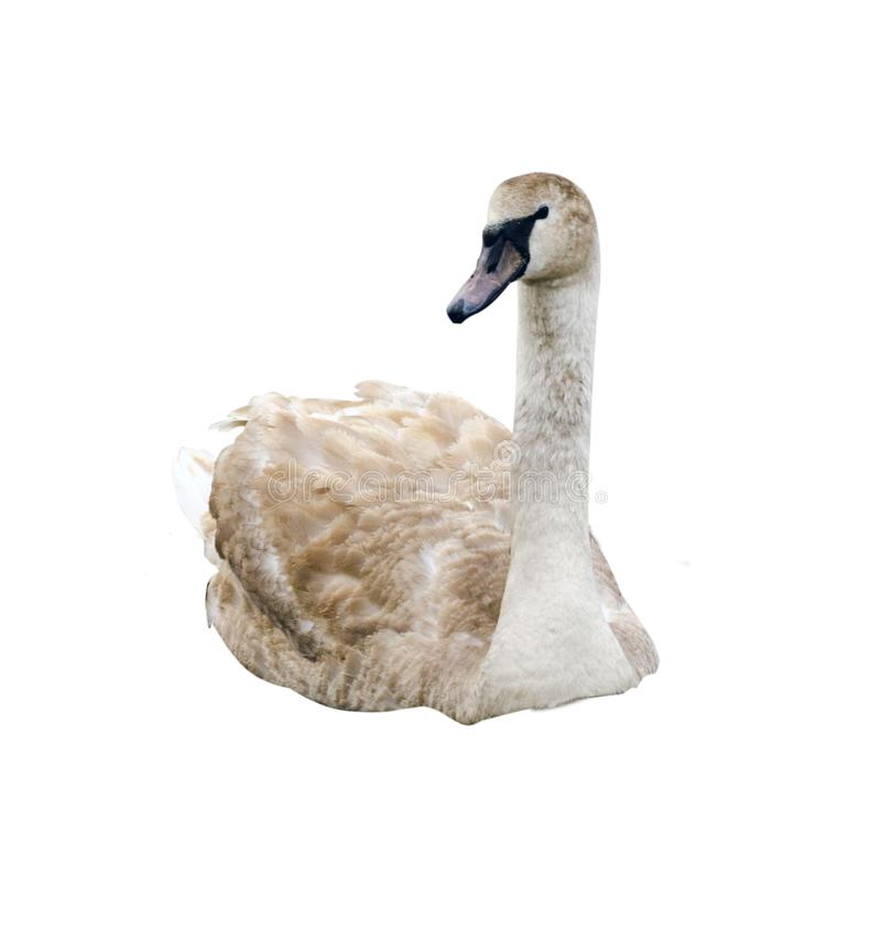 Cisne isolada no fundo branco Cisne branca bonita imagens de stock royalty free