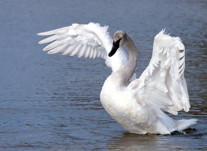 Cisne joven del trompetista fotos de archivo