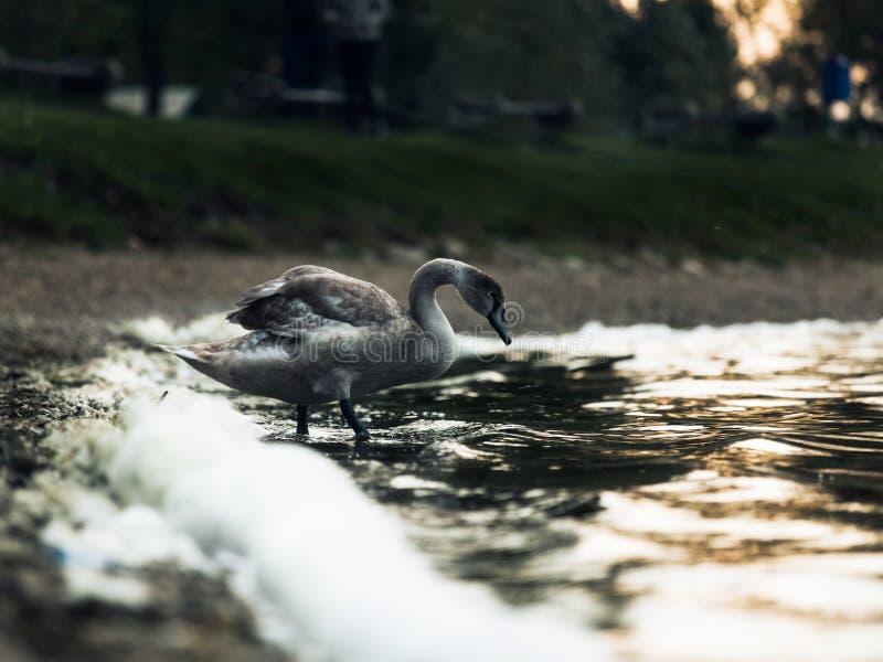 Cisne marrom nova no lago foto de stock royalty free