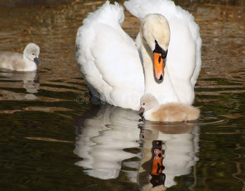 A cisne muda bonita olha sobre lovingly em seu cisne novo minúsculo Suas 3 nadadas dias de idade do irmão fecham-se perto foto de stock royalty free