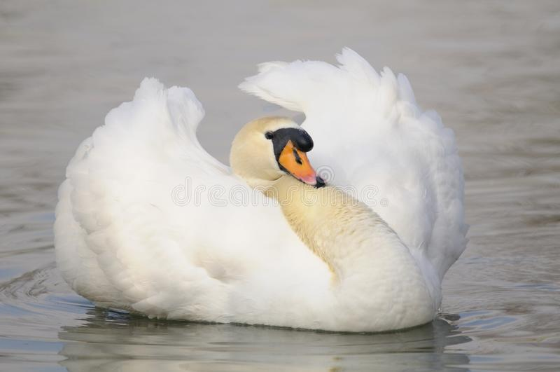 Cisne muda bonita (olor do Cygnus) fotografia de stock royalty free