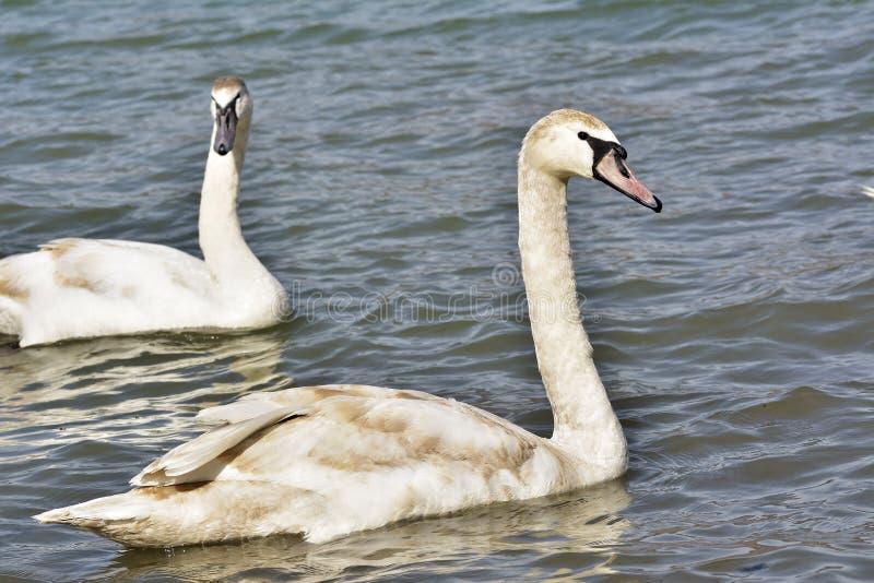 Cisne muda bonita (olor do Cygnus)/cisne muda (olor do Cygnus) imagens de stock