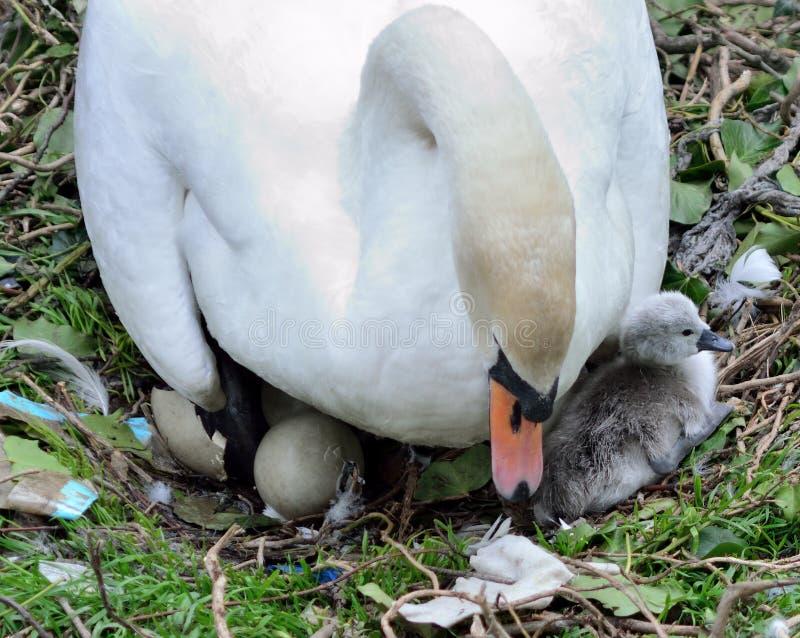 Cisne muda, cisne novo, e ovo de choque imagens de stock