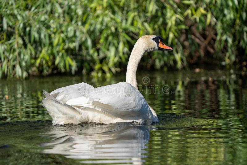 Cisne muda no delta de Danúbio fotos de stock royalty free