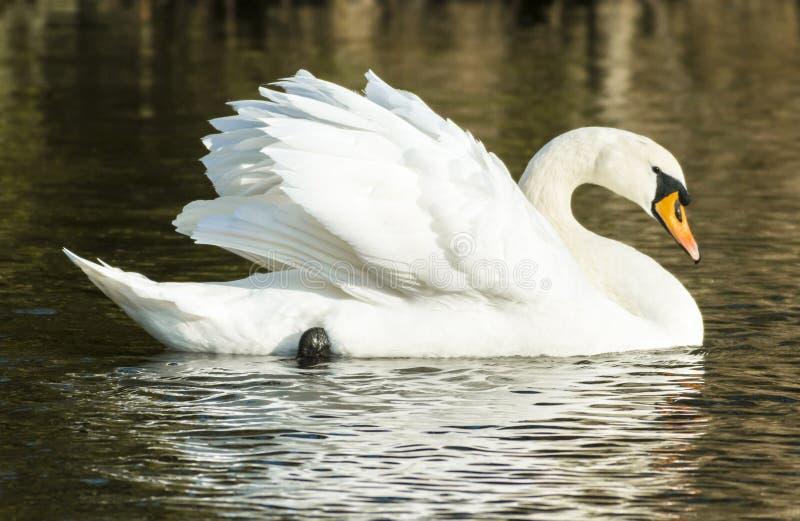 Cisne muda (olor do Cygnus) fotografia de stock