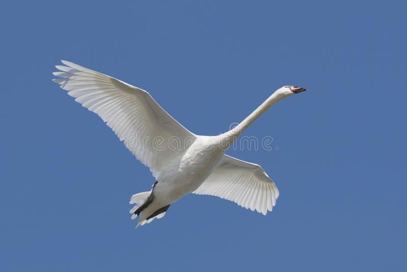 Cisne muda (olor do Cygnus) fotografia de stock royalty free