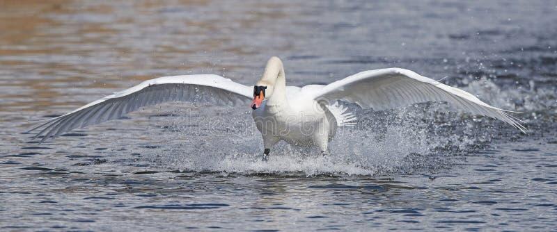 Cisne muda (olor do Cygnus) imagens de stock royalty free