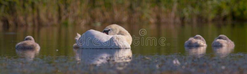 Cisne muda - olor do Cygnus - fêmea com swanlets fotos de stock royalty free