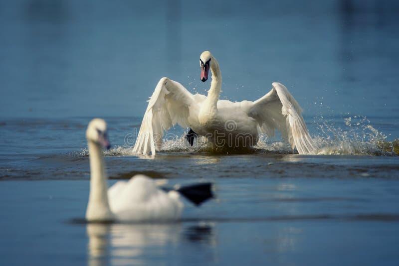 A cisne muda, olor do Cygnus, pássaro dois faz correria na água foto de stock