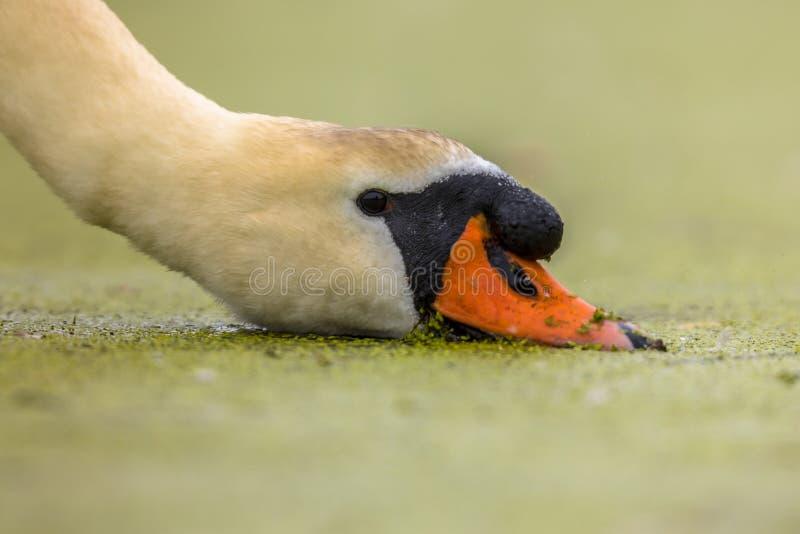 Cisne muda que come a lentilha-d'?gua fotografia de stock royalty free