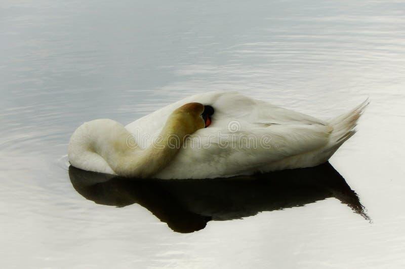 Cisne muda que dorme na água