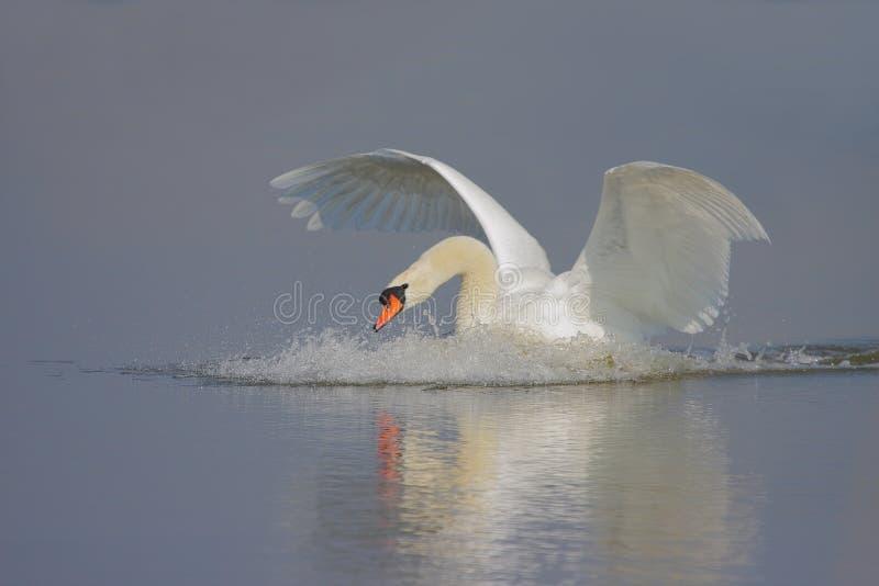 Cisne mudo/Cygnus olor/. fotografía de archivo libre de regalías