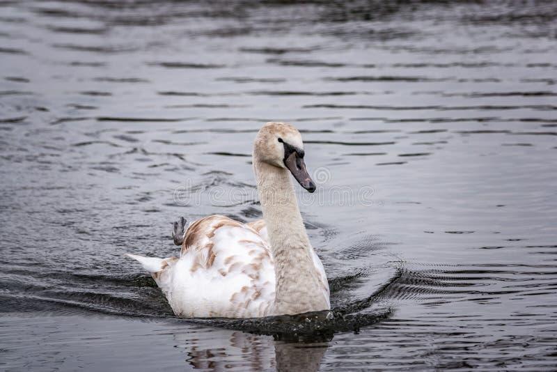 Cisne mudo del sello joven en el agua imagen de archivo