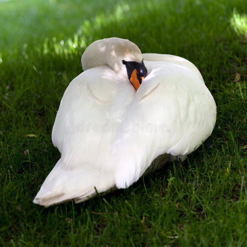 Download Cisne mudo en hierba verde foto de archivo. Imagen de mirada - 41905168