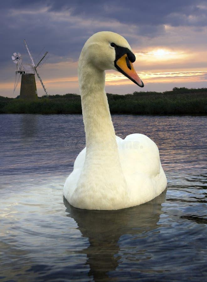 Cisne mudo - Norfolk Broads - Inglaterra fotos de archivo