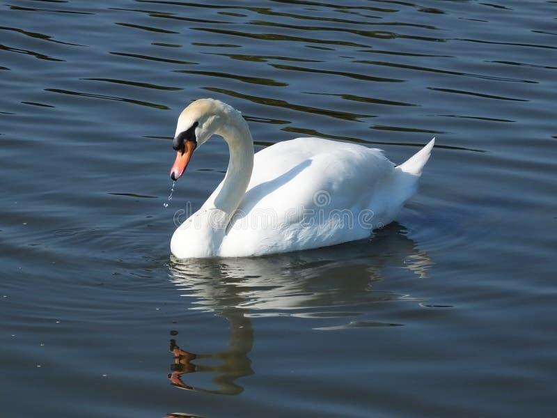 Download Cisne Mudo (olor Del Cygnus) Foto de archivo - Imagen de agraciado, flotación: 42432344