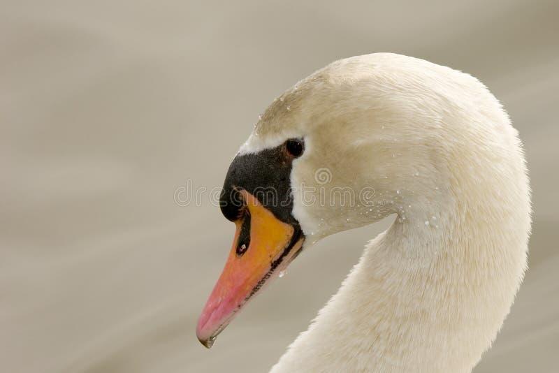 Cisne mudo (olor del Cygnus) imagenes de archivo