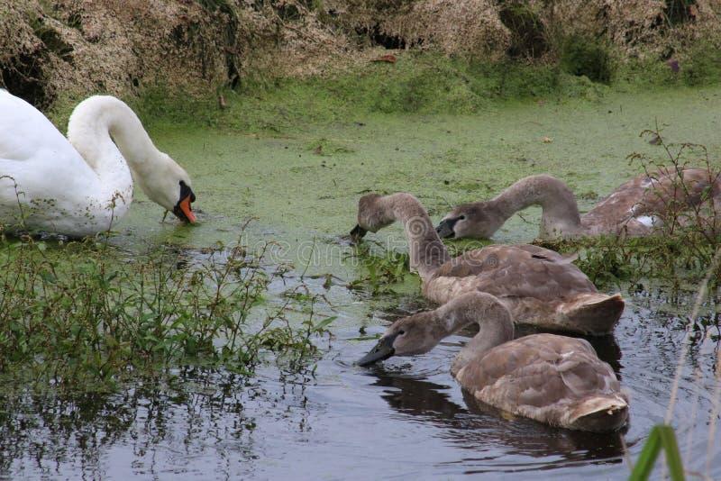 Cisne mudo, olor del cygnus, con tres pollos del cisne imagen de archivo