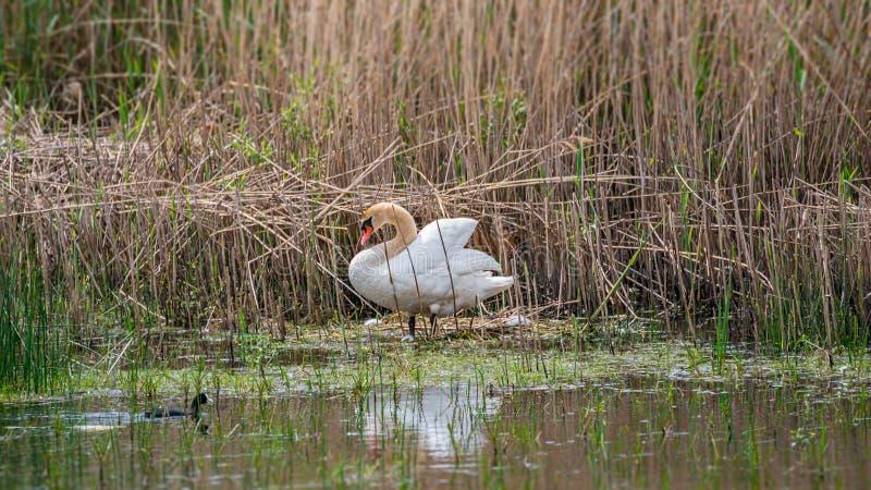 Cisne mudo solo agraciado en el lago por la última mañana de la primavera que hace una jerarquía, Alemania fotos de archivo libres de regalías