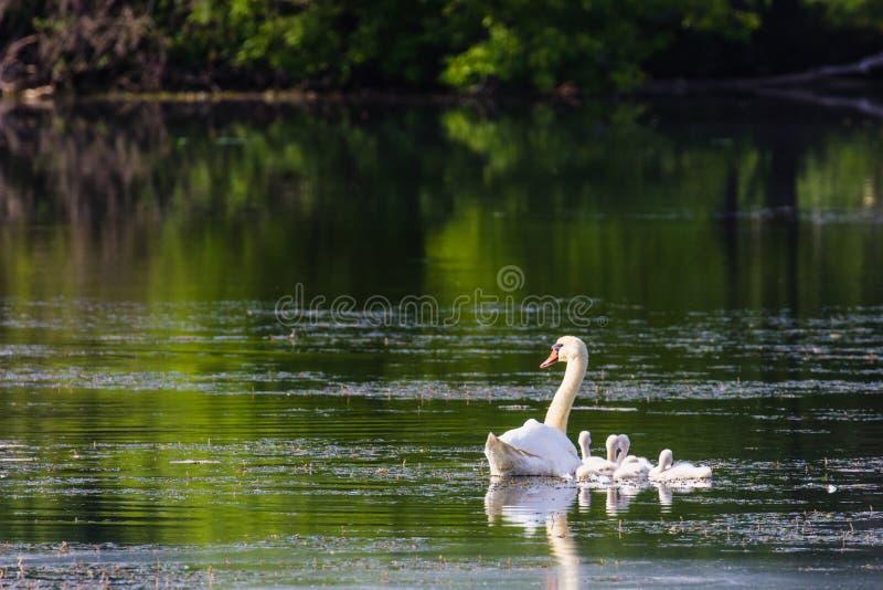 Cisne mudo y pollos del cisne (olor del Cygnus) en el río de Huron fotografía de archivo