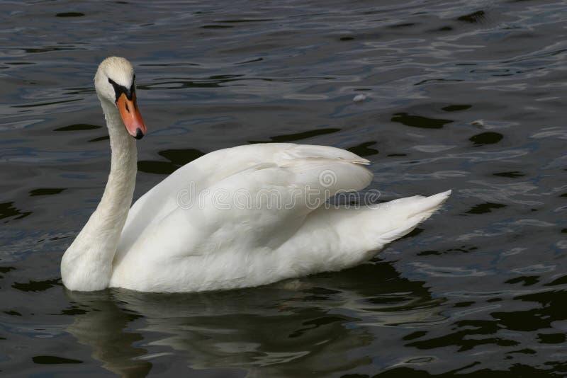 Download Cisne na água imagem de stock. Imagem de elegante, branco - 168983