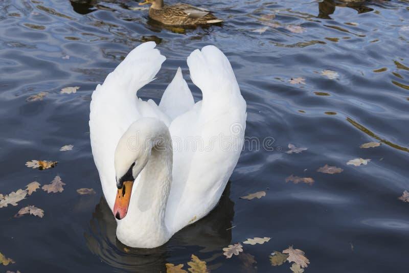Cisne na água do lago em um dia bonito do outono imagem de stock royalty free