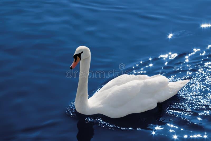 Cisne na água, trajeto de grampeamento imagens de stock royalty free