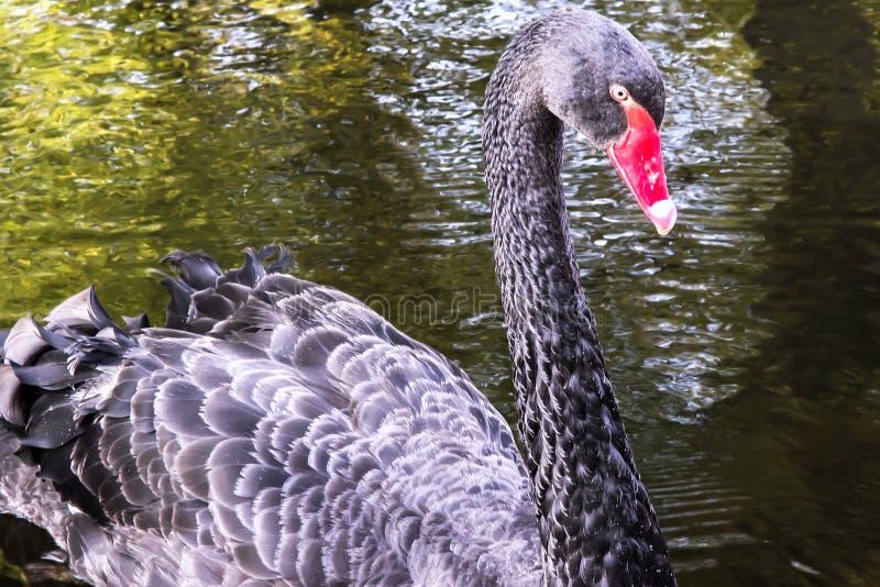 Cisne negro atento fotografía de archivo libre de regalías