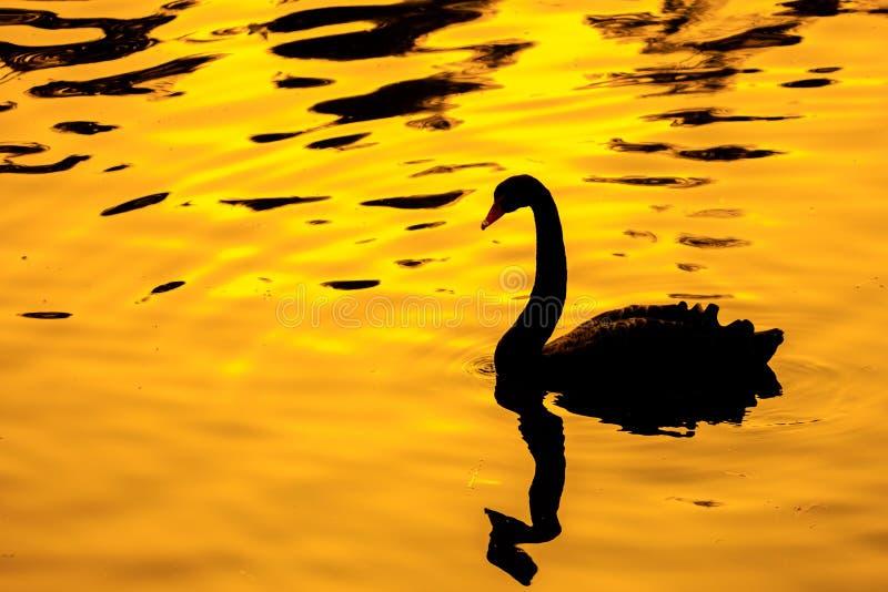 Cisne negro con el backgroud de oro fotos de archivo libres de regalías