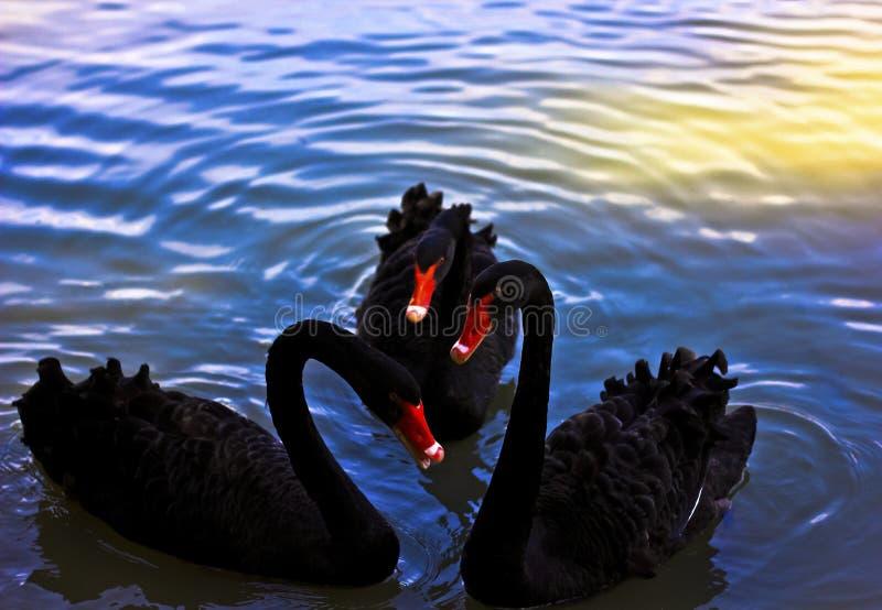 Cisne negro del Tripple fotografía de archivo libre de regalías