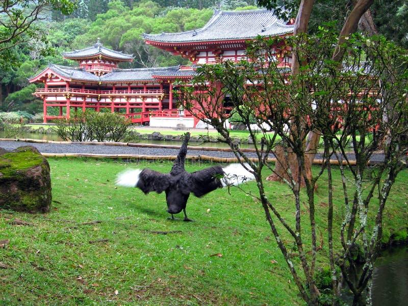 Cisne negro en el templo imágenes de archivo libres de regalías