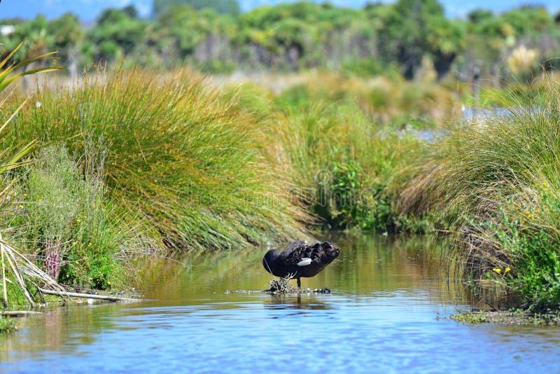Cisne negro en una charca en Travis Wetland Nature Heritage Park en Nueva Zelanda imagenes de archivo