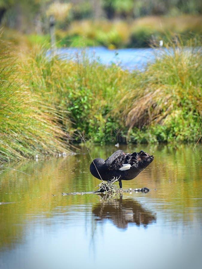 Cisne negro en una charca en Travis Wetland Nature Heritage Park en Nueva Zelanda fotos de archivo