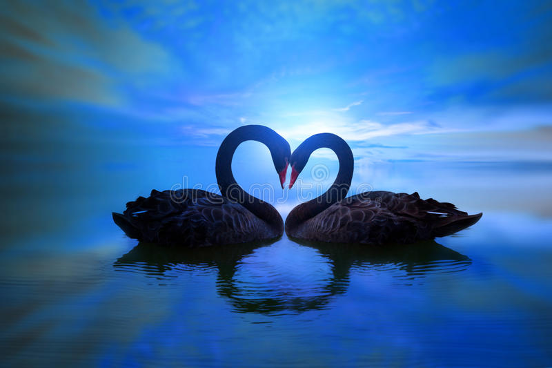 Cisne negro hermoso en forma del corazón en luz de luna azul del lago fotos de archivo