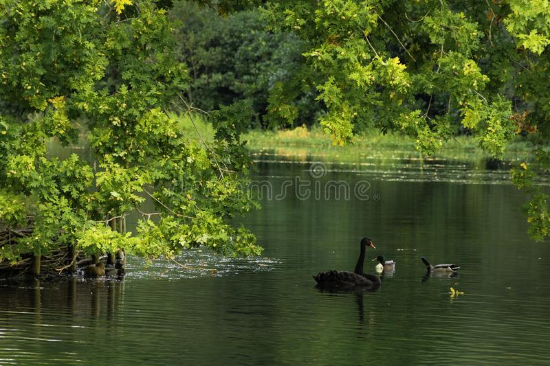 Download Cisne negro salvaje foto de archivo. Imagen de charca - 100526154