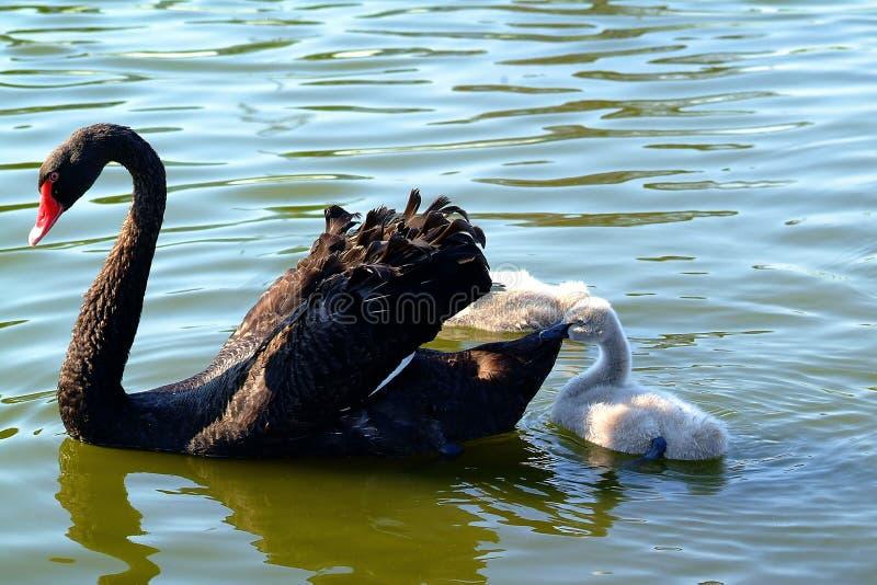 Cisne negro y bebé foto de archivo