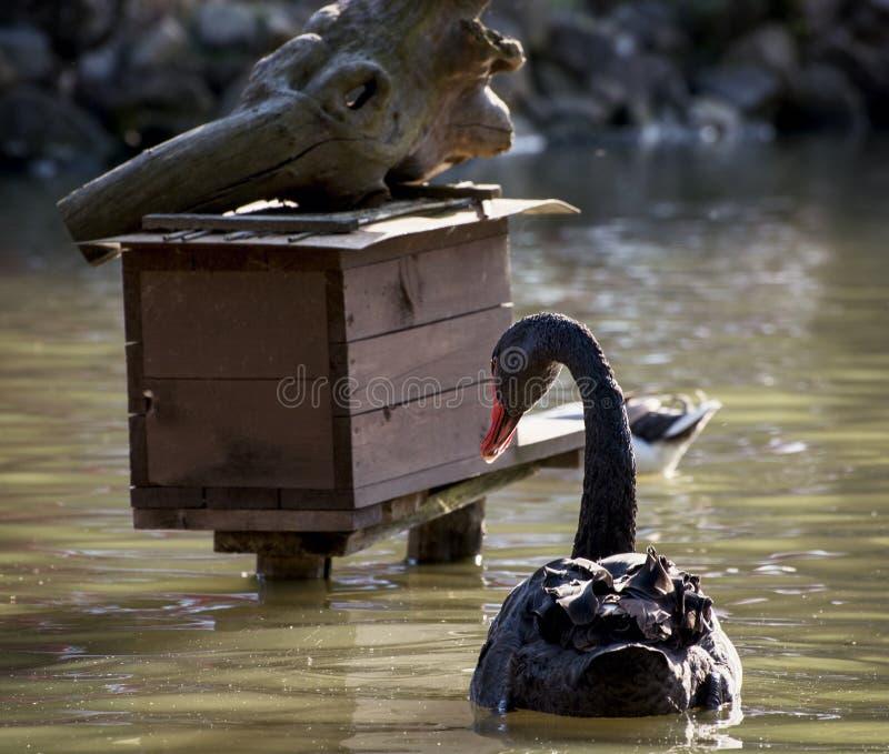 Cisne negro y pajarera en el agua foto de archivo libre de regalías