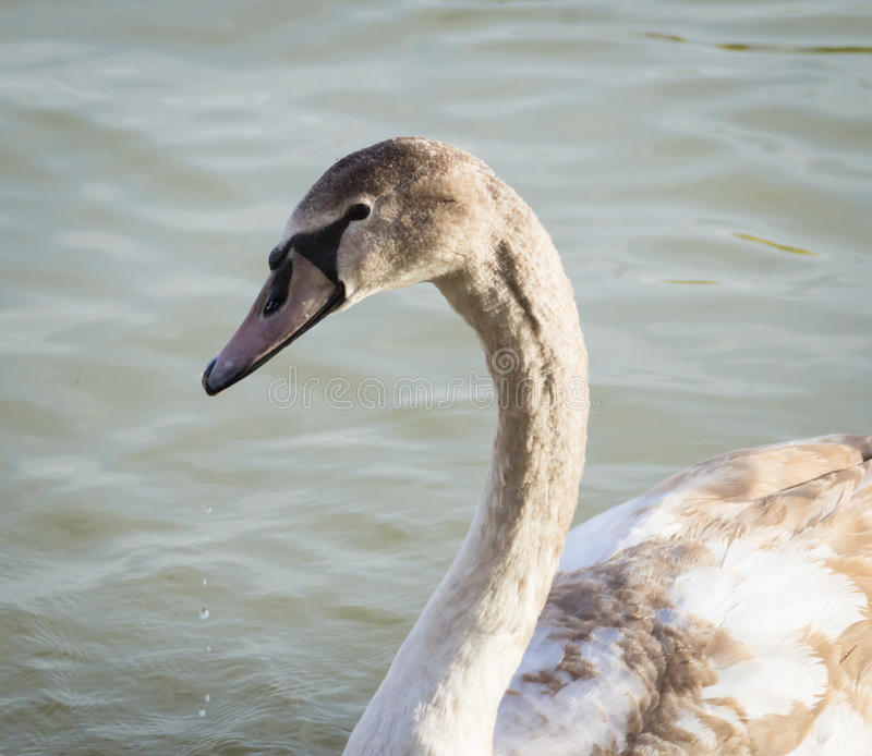 Cisne no lago Balaton foto de stock