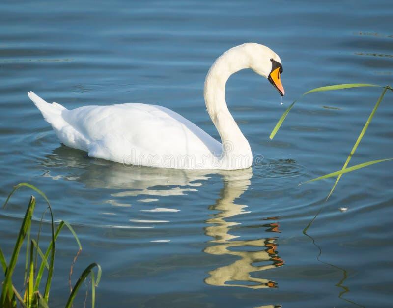 Cisne no lago Balaton imagem de stock royalty free