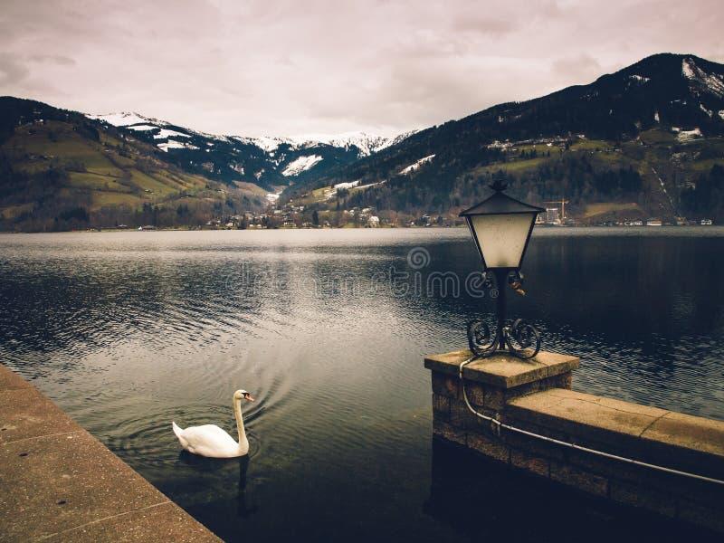 Cisne no lago mountain fotos de stock royalty free