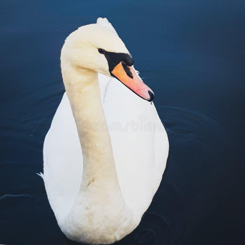 Cisne no lago fotos de stock