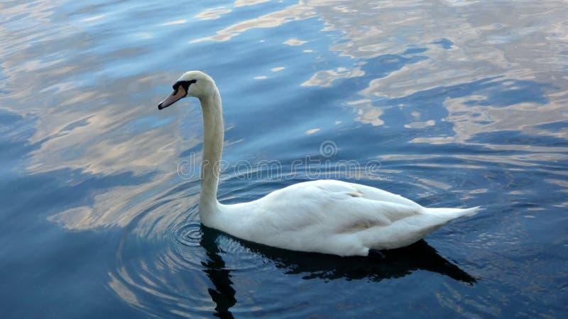 Cisne no lago que nada pacificamente Imagem da foto imagem de stock