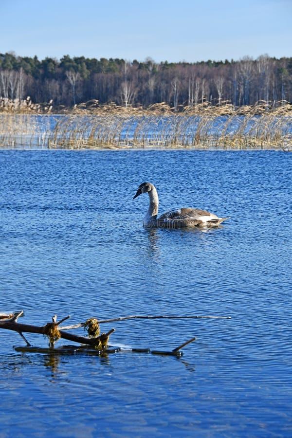 Cisne no lago Uvildy em novembro, região de Chelyabinsk Rússia imagens de stock royalty free