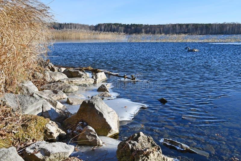 Cisne no lago Uvildy em novembro, região de Chelyabinsk Rússia foto de stock royalty free