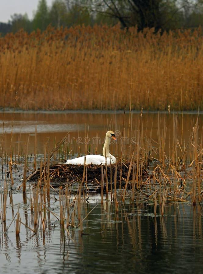 Cisne no ninho imagem de stock royalty free